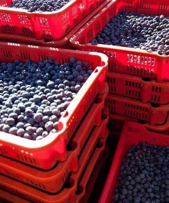 #thursdaythrive    Blueberries