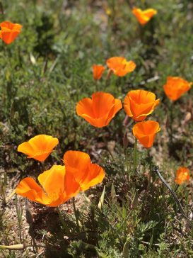 Poppy Super Bloom