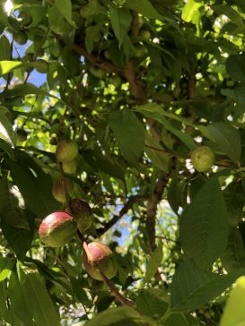Fruit Trees at the Farmhouse
