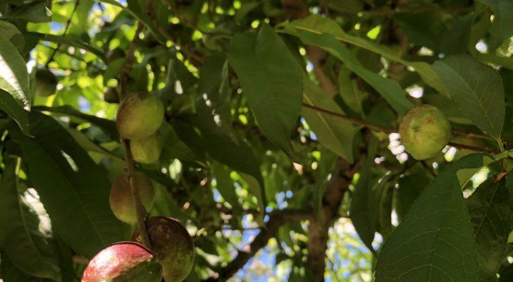 Fruit Trees at the Farmhouse
