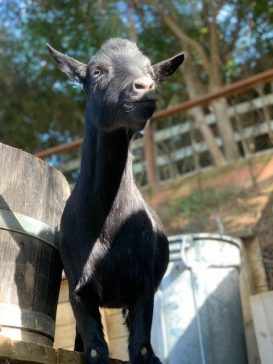Tips & Tricks for raising Happy, Healthy Goats