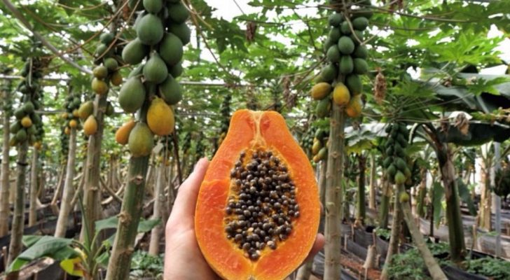 #treatyourselftuesday   Golden State Papaya